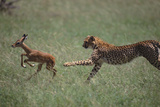 Cheetah Chasing Impala Foal in Grass Photographic Print by  DLILLC