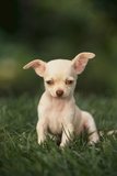 Chihuahua Puppy Photographic Print by  DLILLC