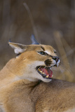 Caracal Photographic Print by  DLILLC