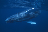 Humpback Whale Swimming Photographic Print by  DLILLC