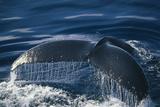Humpback Whale Fluke Photographic Print by  DLILLC