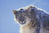 Snow Leopard Fotografisk tryk af  DLILLC