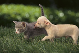 Chihuahua Puppy and Kitten Photographic Print by  DLILLC