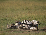 Burchell's Zebra Rolling in Dirt Photographic Print by  DLILLC