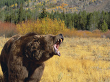Roaring Grizzly Photographic Print by  DLILLC