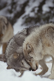 Gray Wolves Greeting One Another Photographic Print by  DLILLC