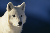 White Gray Wolf Photographic Print by  DLILLC