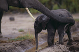 African Elephant Mother Helping Calf Drink Photographic Print by  DLILLC