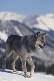 Gray Wolf Walking in Snow Photographic Print by  DLILLC