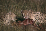Cheetahs Eating Prey Photographic Print by  DLILLC