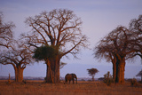 African Elephant Walking between Baobab Trees Photographic Print by  DLILLC