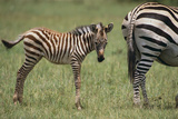 Zebra Foal and Mother Photographic Print by  DLILLC