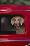 Weimaraner Sitting in an Automobile Photographic Print by  DLILLC