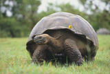 Galapagos Tortoise in the Grass Photographic Print by  DLILLC