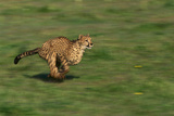 Running Cheetah Photographic Print by  DLILLC