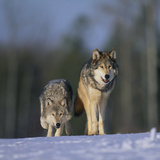 Gray Wolves Walking on Snow Photographic Print by  DLILLC