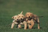 Retriever Puppies Sharing a Stick Photographic Print by  DLILLC