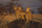 Cheetahs on Mound Photographic Print by  DLILLC