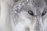 Gray Wolf Dusted with Snow Photographic Print by  DLILLC