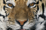 Bengal Tiger Photographic Print by  DLILLC