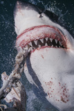 Great White Shark Biting Bait Line Photographic Print by  DLILLC