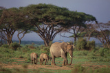 African Elephant Walking with Calves Photographic Print by  DLILLC