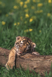 Sleeping Tiger Cub Photographic Print by  DLILLC