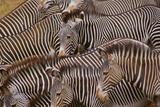 Zebra Herd Photographic Print by  DLILLC