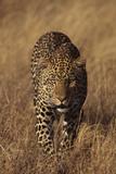 Leopard Photographic Print by  DLILLC