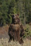 Grizzly Bear Standing in Meadow Photographic Print by  DLILLC