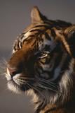 Bengal Tiger Fotoprint av  DLILLC