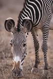 Grazing Zebra Photographic Print by  DLILLC