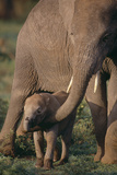Adult Elephant Guarding Baby Photographic Print by  DLILLC