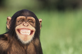 Grinning Chimpanzee Photographic Print by  DLILLC