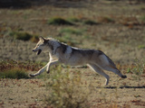Gray Wolf Running in Meadow Photographic Print by  DLILLC