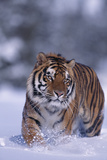 Bengal Tiger Walking in Snow Photographic Print by  DLILLC
