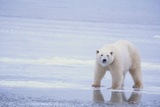 Polar Bear on Ice Photographic Print by  DLILLC