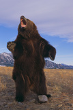 Roaring Grizzly Bear Photographic Print by  DLILLC