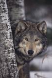 Loup gris Reproduction photographique par  DLILLC