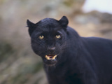 Black Leopard Snarling Photographic Print by  DLILLC