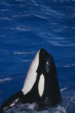 Killer Whale Spyhopping Photographic Print by  DLILLC