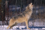 Gray Wolf Howling Photographic Print by  DLILLC