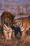 Siberian Tigers Showing Affection Photographic Print by  DLILLC