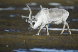 Svalbard Reindeer on the Tundra Photographic Print by  DLILLC