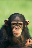 Young Chimpanzee Photographic Print by  DLILLC