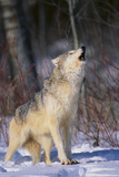 Gray Wolf Howling in Snow Photographic Print by  DLILLC