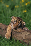 Bengal Tiger Cub Sleeping on Fallen Tree Photographic Print by  DLILLC