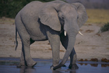 African Elephant at Watering Hole Photographic Print by  DLILLC