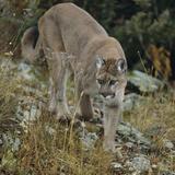 Mountain Lion on Rocks Photographic Print by  DLILLC