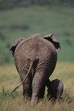 African Elephant Walking with Young Photographic Print by  DLILLC